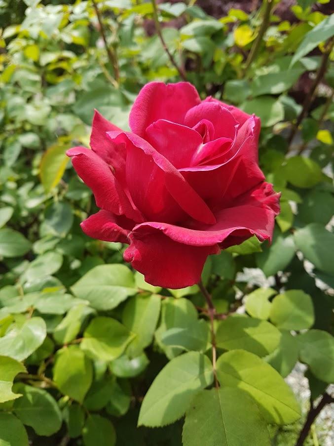 Le rose non colte